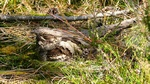 European Nightjar (Caprimulgus europaeus)